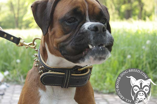Boxer black leather collar padded with handset spikes for stylish walks