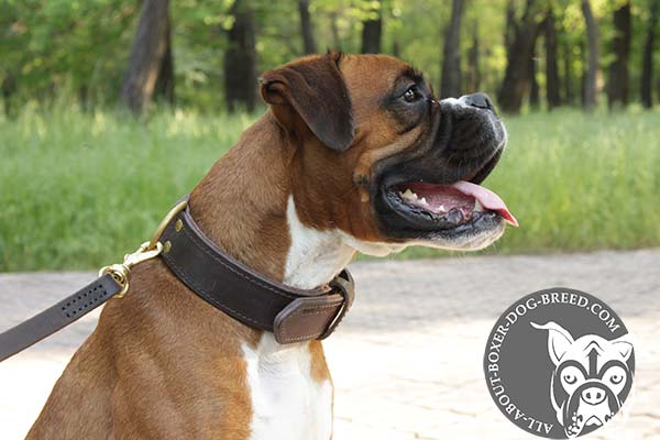 Boxer leather collar double ply with brass plated hardware for utmost comfort