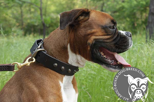 Boxer brown leather collar with durable brass plated hardware for basic training