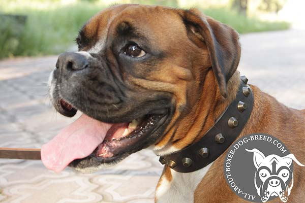 Boxer leather collar of high quality with cones set in row for safe walking