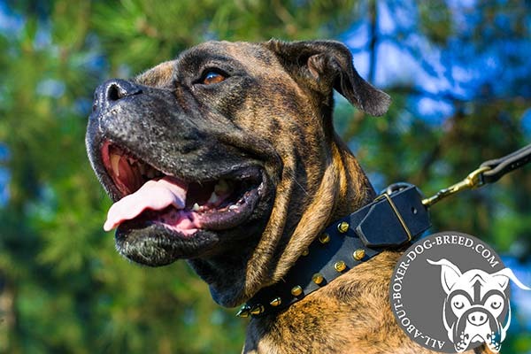 Boxer black leather collar with non-corrosive brass plated hardware for any activity