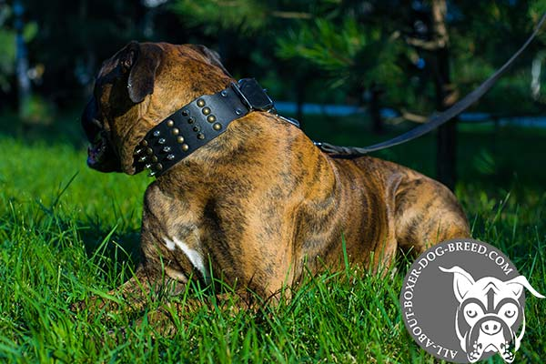 Boxer leather collar wide with traditional buckle for better comfort