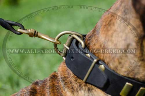 Wide leather collar with brass vertical plates for Boxer
